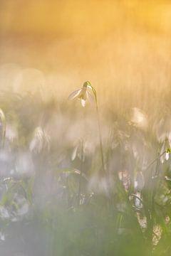 Schneeglöckchen von Lisa Antoinette Photography