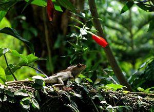 Iguana von Floris den Ouden
