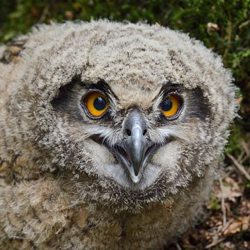 Young chick... Eurasian Eagle Owl  ( Bubo bubo ) van wunderbare Erde
