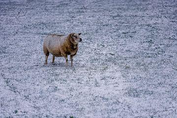 Schaap in winter op Texel van Texel360Fotografie Richard Heerschap