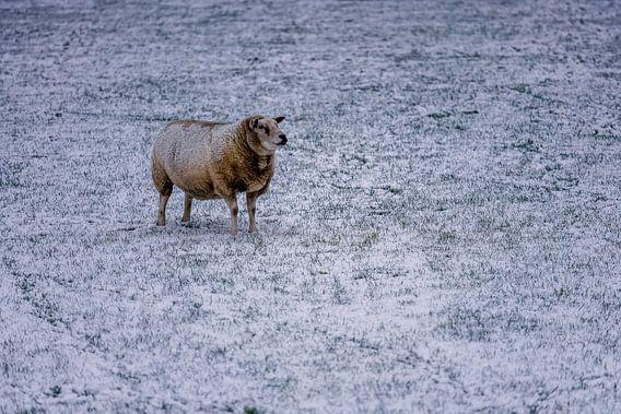 Schaap in winter op Texel