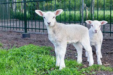 Twee pasgeboren witte lammetjes in groen gras van Ben Schonewille
