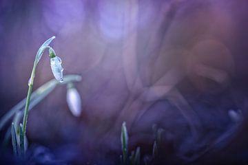 First Snowdrop van Bob Daalder