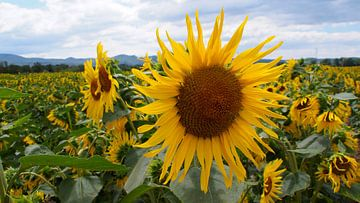 Sonnenblumen in Frankreich von Eye to Eye Xperience By Mris & Fred