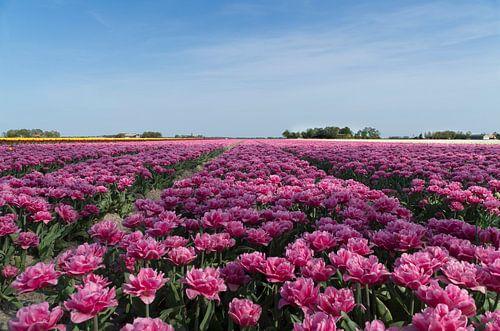 Veld roze pioentulpen van