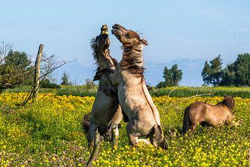 Konikpaarden van Joke Beers-Blom