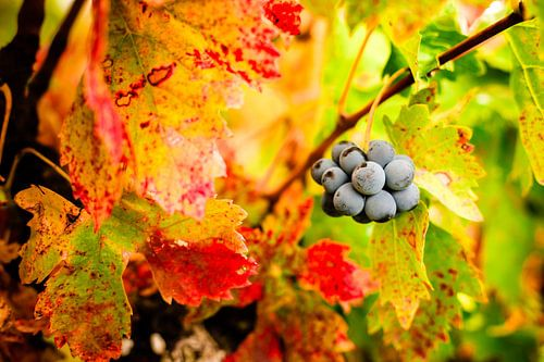 Kleurrijke druivenbladeren in de herfst