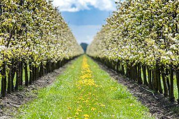 Appelbloesems in volle bloei bij een boomgaard van Fotografiecor .nl