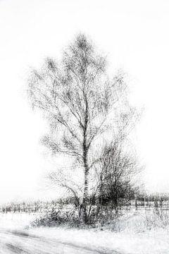 Birke in Schwarz und Weiß von Guido Rooseleer