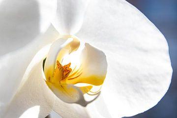 Orchidee von Nynke Altenburg
