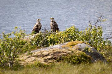 Twee zeearenden op de Vesterålen in Noorwegen van Karin de Jonge