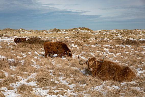 Schotse Hooglanders Vlieland (7)