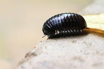 Giant pill millipede sur