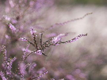 Heidekraut in Blüte von Moniek van Rijbroek