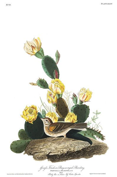 Avondgors van Birds of America