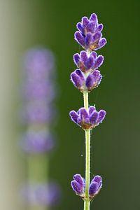Lavendel takken