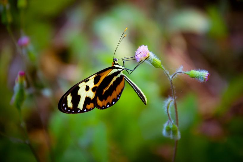 Vlinder van Adri Vollenhouw