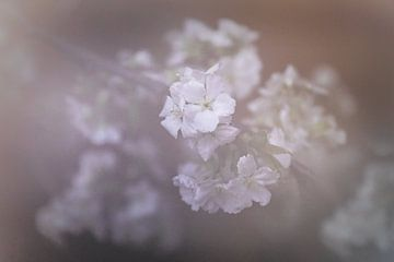 Dromen van de lentebloesem