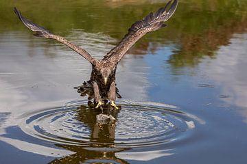 Seeadler (Haliaeetus albicilla) über das Wasser von gea strucks