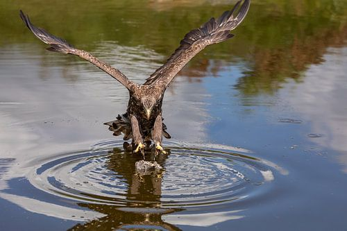 Europese zeearend (Haliaeetus albicilla) over het water