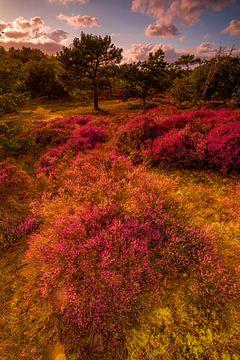 Blühende Heide 1 von Peter Heins