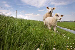 Lammetje en schaap op een dijk