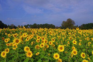 Zonnebloemveld met veel gele bloemen van Anja Uhlemeyer-Wrona