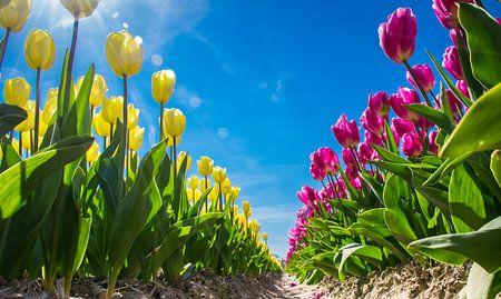 Gele en roze tulpen in een bollenveld