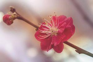 Bloeiende Prunus van