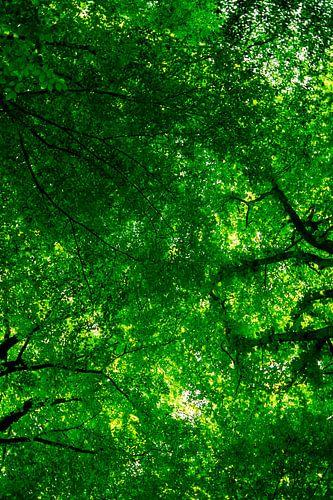 Beech Forest Canopy von