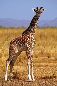 Young Giraffe - Africa wildlife sur W. Woyke