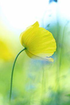 Papaver, geel (dromerig) van Cocky Anderson