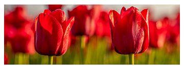 Tulpen, rode tulpen in Nederland. van Gert Hilbink