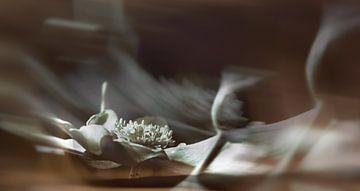 Anemone. von Leo Langen