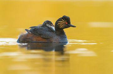 Geoorde Fuut zwemt in 't gouden water met jong op haar/zijn rug  van Remco Van Daalen