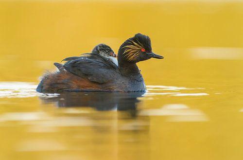 Geoorde Fuut zwemt in 't gouden water met jong op haar/zijn rug  van