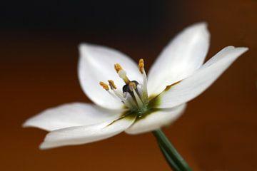Fleur blanche arabe  sur Jolanta Mayerberg