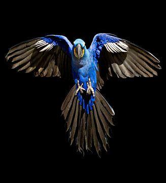 Hyacinth-Macaw van Ulrich Brodde