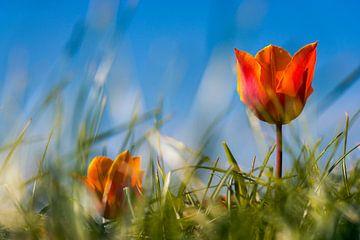 Oranje tulp tegen blauwe lucht von Jenco van Zalk
