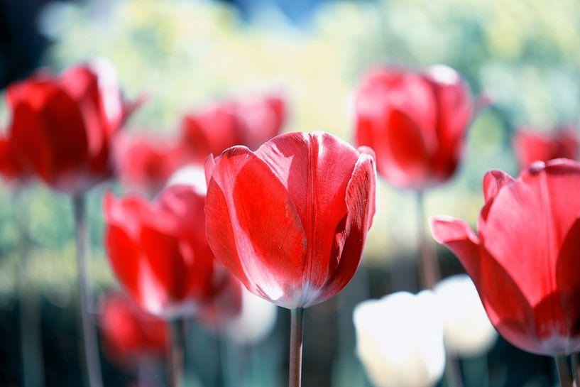 Rode Tulpen van Jessica Berendsen