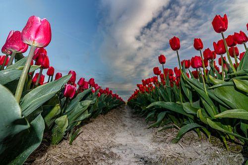 Tulpen in bloei van