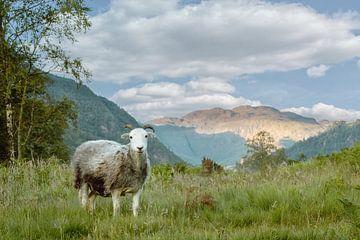 Mouton en habits de mouton sur Lars van de Goor