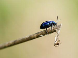 Blauwe kever (Elzenhaantje)