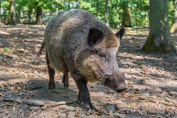 Foto eines erwachsenen Wildschweins der auf uns zugeht von Ben Schonewille
