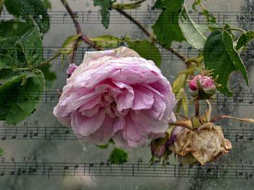 Rose lied van Christine Nöhmeier