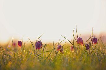 Kievitsbloemen in een weiland tijdens een mooie voorjaars zonopkomst van Sjoerd van der Wal