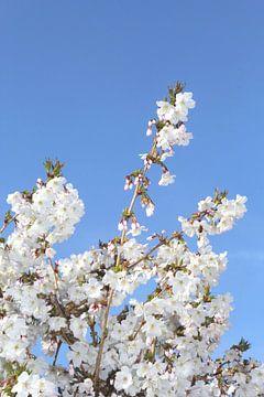 Japanse kersenbloesem van Inge Hogenbijl