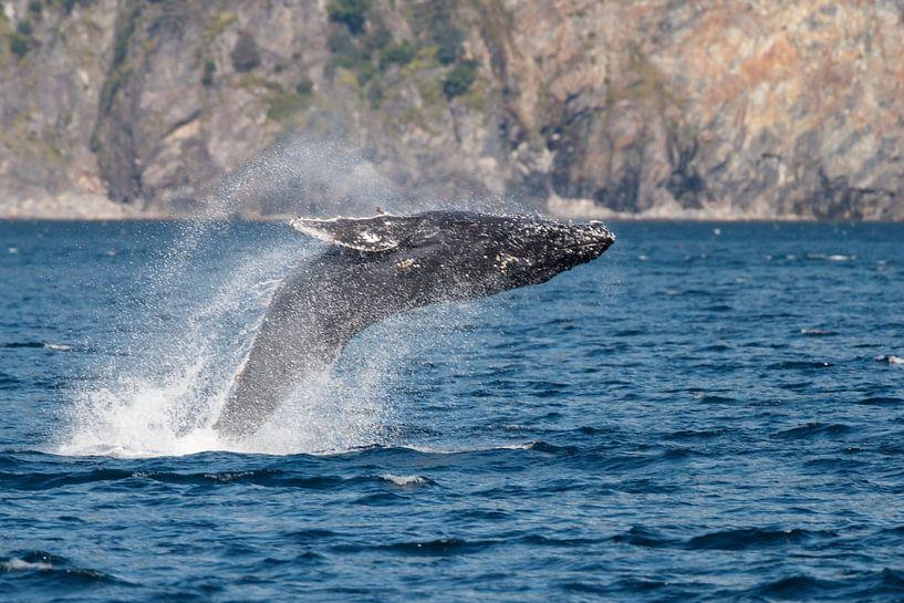 Springende bultrug walvis van Menno Schaefer