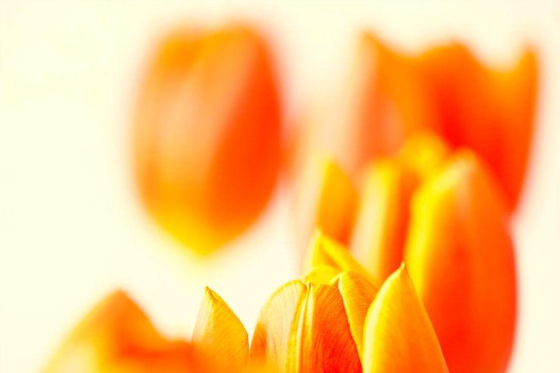 Oranje tulpen van Maerten Prins