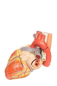 Model dat de binnenkant van een menselijk hart laat zien van